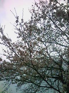 経済回して桜なう温泉だよ